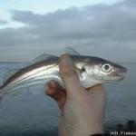 Bouwen offshore windmolens is niet slecht voor vissen