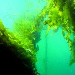 Teelt van zeewier biedt kansen voor Offshore windparken