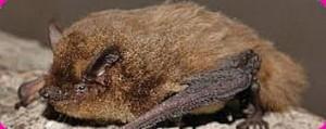 ecomare vleermuis