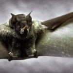 Vleermuis legt windmolenpark stil